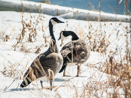 canada geese on snow