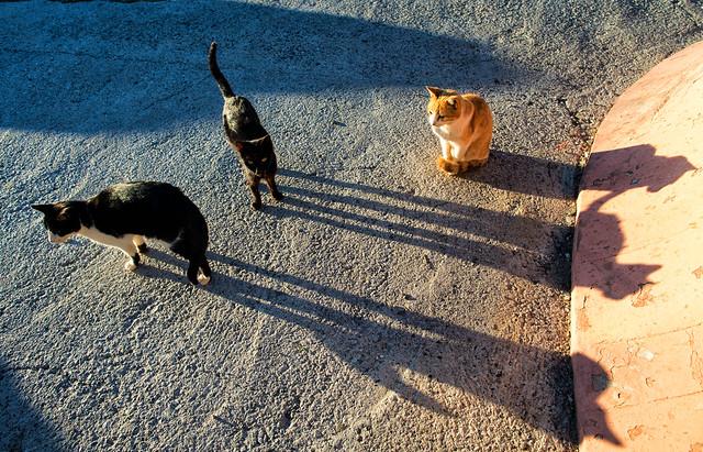 Three Andalusian Cats
