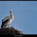 stork disheveled ... by piero giuffrida | jebel