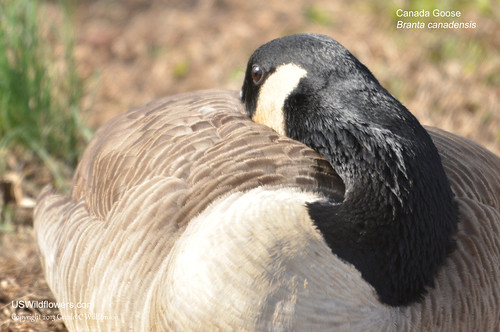 Canada Goose - Branta canadensis by USWildflowers, on Flickr