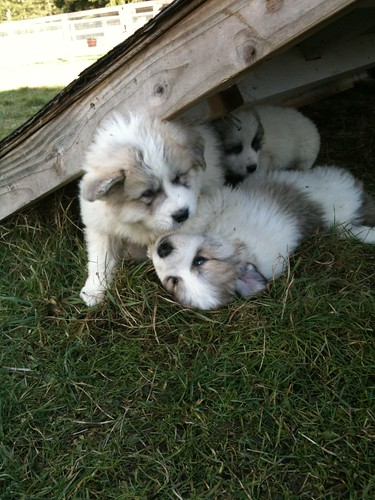 puppies under shed