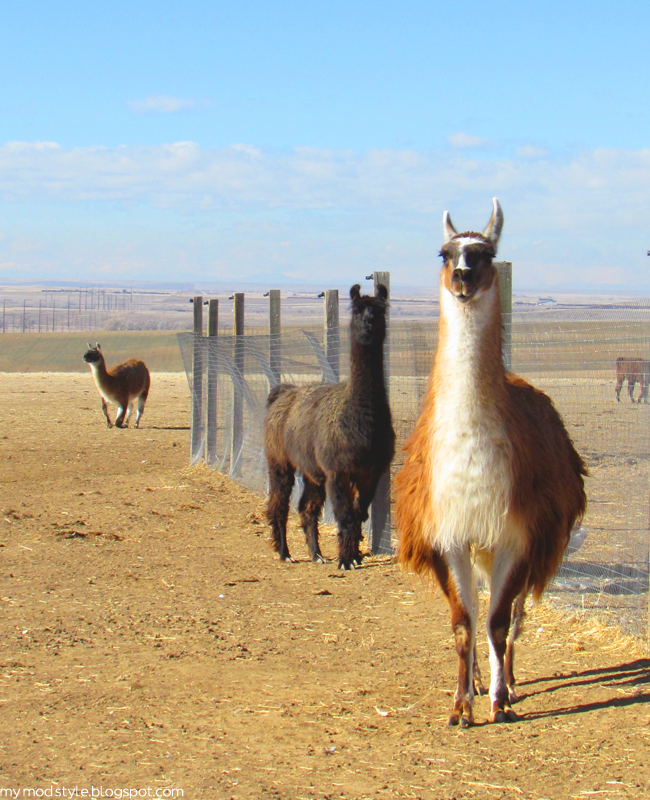 FARM llamas and fence