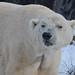 Eisbär Elvis in der Zoom Erlebniswelt im Januar 2013