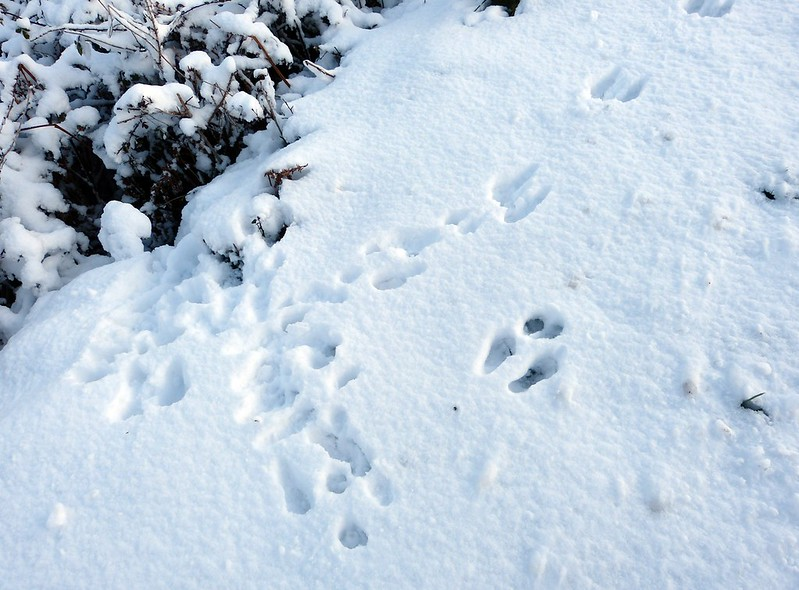 29196 - Snow Tracks, Rabbit