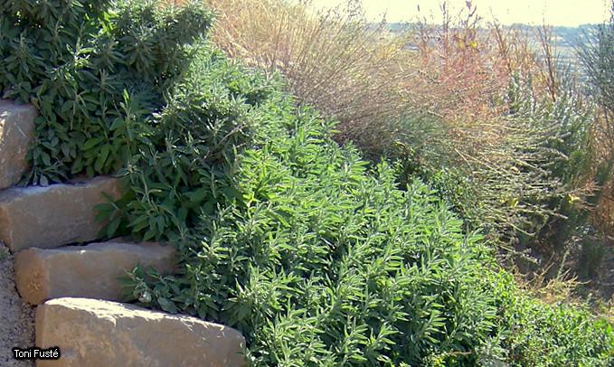 Zona de plantes aromàtiques