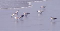 stilt(0.0), gull(0.0), bird migration(0.0), animal(1.0), charadriiformes(1.0), fauna(1.0), sandpiper(1.0), bird(1.0), seabird(1.0),