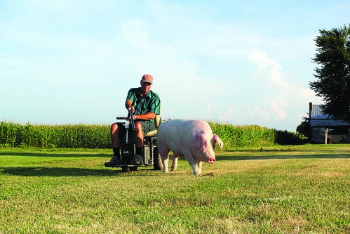 Mark Hosier monitors a sow on his 500-acre Indiana farm.  Hosier works with the NIFA-funded AgrAbility Program to overcome disabilities and continue working as an agricultural producer.  Photo courtesy of National Swine Registry/Seedstock EDGE.