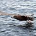 Glaucous Gull (Peter Dunn)