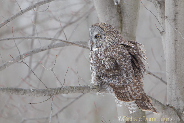 Chouette lapone / Strix nebulosa / Great Grey Owl