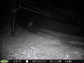 Mountain Lion 2/23/2013 @19:11 San Mateo County; photo taken by motion-sensor camera. Check w/Georgia Stigall for more info. Possibly the same individual as the one in daylight on this date (but can't know for sure.)