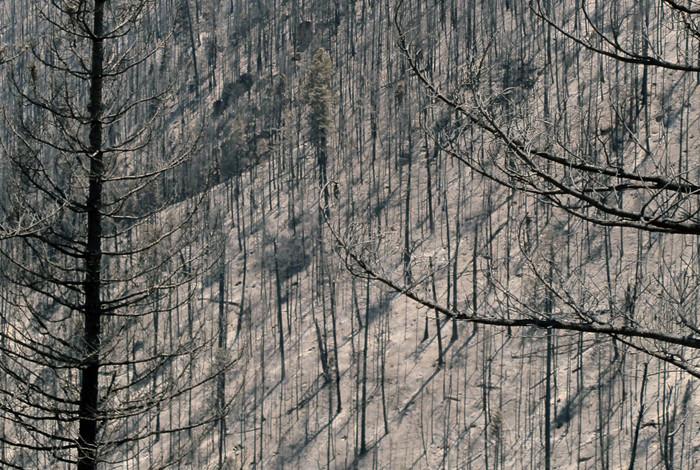 Burned trees in the Jemez Mountains of New Mexico after the 2011 Las Conchas fire. Image by Craig D. Allen, USGS.