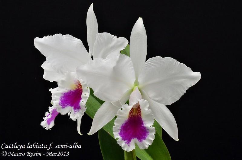 Cattleya labiata f. semi-alba 8521465050_5e3373f07d_c
