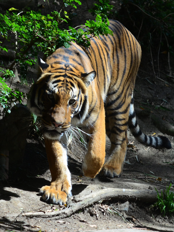 Tiger walking downhill tattoo - photo#3