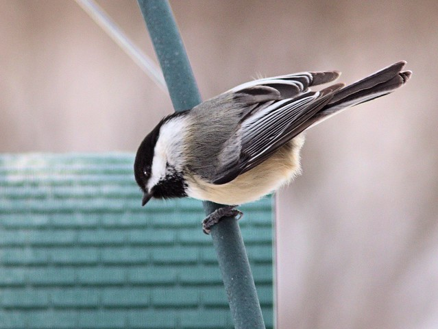 Black-capped Chickadee 2-20130305