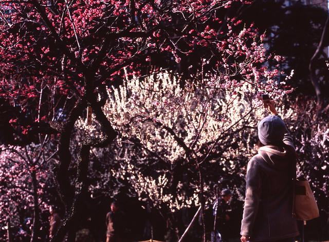 早春の梅撮影