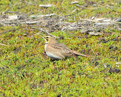 Horned Lark - female - Alameda Point wildlife refuge