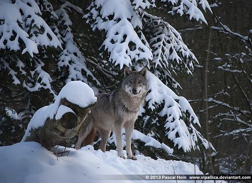 Wolf, Tiergarten Weilburg