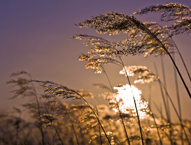 Sunset trough the reed