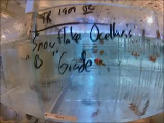 005 Snowflake Ocellaris ''B'' Grade T-R Clowns