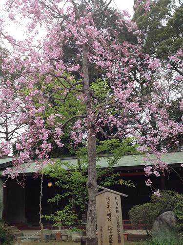 代々木八幡さまの紅しだれ桜