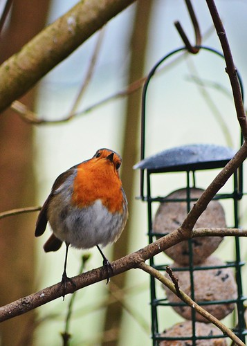Robin 2 by birbee