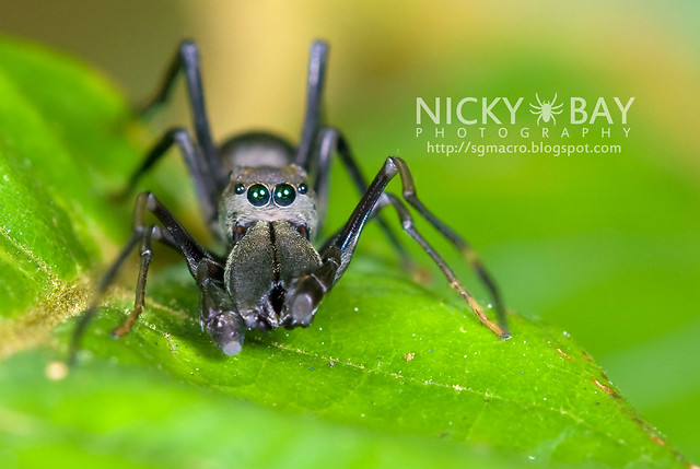 Ant-Mimic Jumping Spider (Salticidae) - DSC_7386