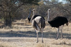 emu, animal, ostrich, flightless bird, fauna, bird, ratite, wildlife,