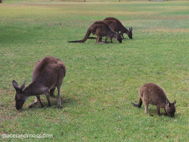 the sun pictures kangaroo