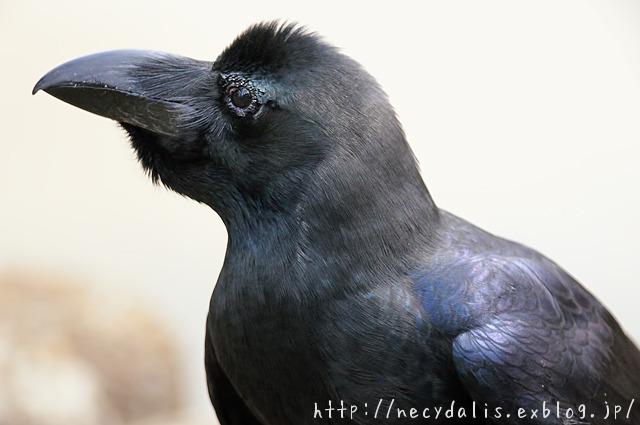 ハシブトガラス [Corvus macrorhynchos]...