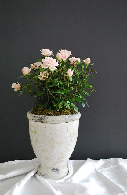 Miniature Roses in Urn