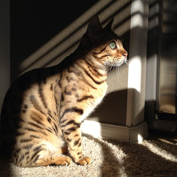 Sun, finally. #bengal #bengalcat #catsofinstagram