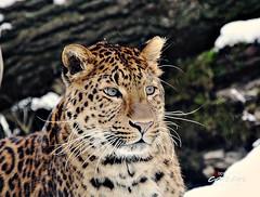 Chinesischer Leopard Julius im Schnee