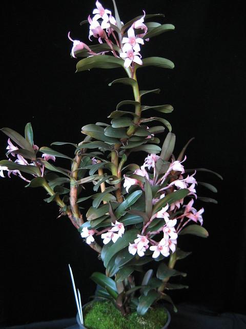 Maxillaria scalariformis, Canon IXY DIGITAL 70