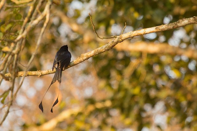 At Kabini, Karnataka. (Racket Tailed Drongo)