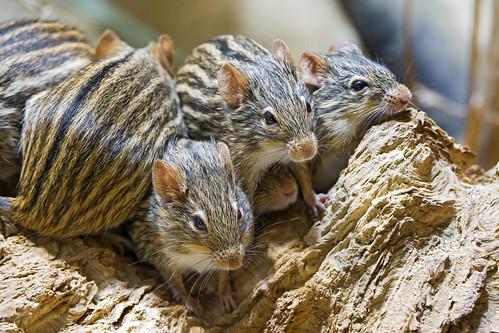 [フリー画像素材] 動物 (哺乳類), 鼠・ネズミ, ヨスジクサマウス ID:201302011000