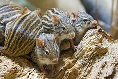 A few cute striped mice!