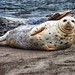 Winter Harbour Seal Pup - Jenner, California by Laurence 