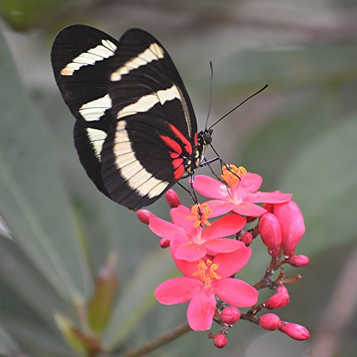 Heliconius hewitsoni is nectaring on hot pink Jatropha by jungle mama