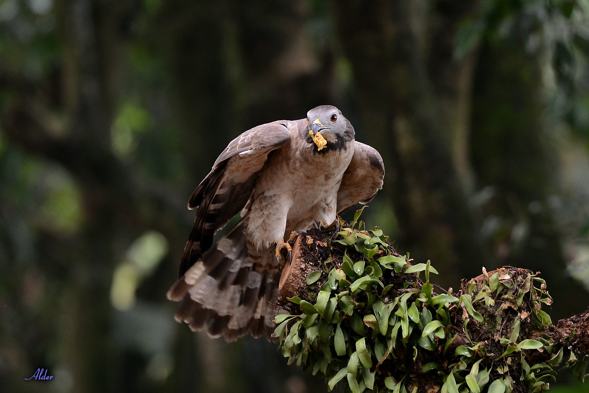 Honey_Buzzard_5553