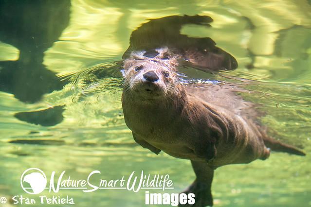 River Otter swi...