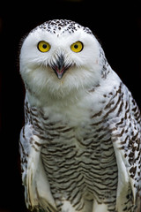 [Free Images] Animals (Others), Owls, Snowy Owl ID:201302230400