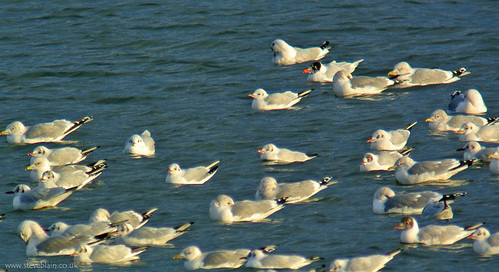 Med Gull at Stewartby