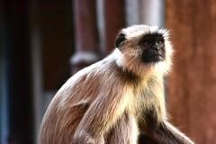 tufted capuchin(0.0), marmoset(0.0), whiskers(0.0), macaque(0.0), wildlife(0.0), animal(1.0), monkey(1.0), mammal(1.0), langur(1.0), fauna(1.0), close-up(1.0), old world monkey(1.0), new world monkey(1.0),