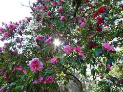 rosa wichuraiana(0.0), shrub(0.0), garden roses(0.0), rosa rubiginosa(0.0), camellia japonica(0.0), blossom(1.0), camellia sasanqua(1.0), flower(1.0), garden(1.0), plant(1.0), flora(1.0), theaceae(1.0),