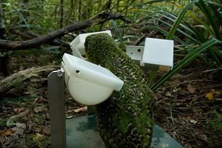 "Kakapo ""Sirocco"" at feeding station"