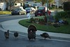 The whole family of California Wild Turkeys. BTW, these are not the once we eat @ Thanksgiving!