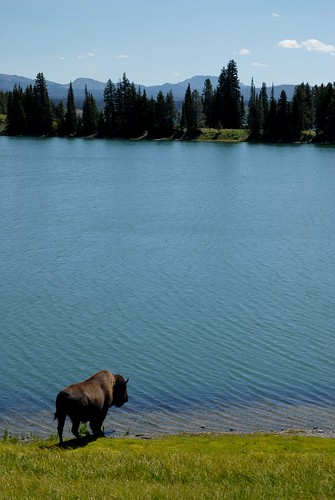 Bison drinking from lake in Yellowstone National Park, Wyoming