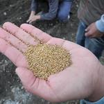 台東8號小米種子。