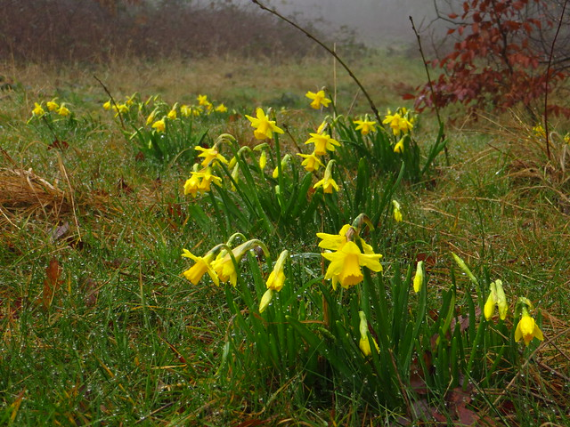 Daffodils on Preacher's Hill