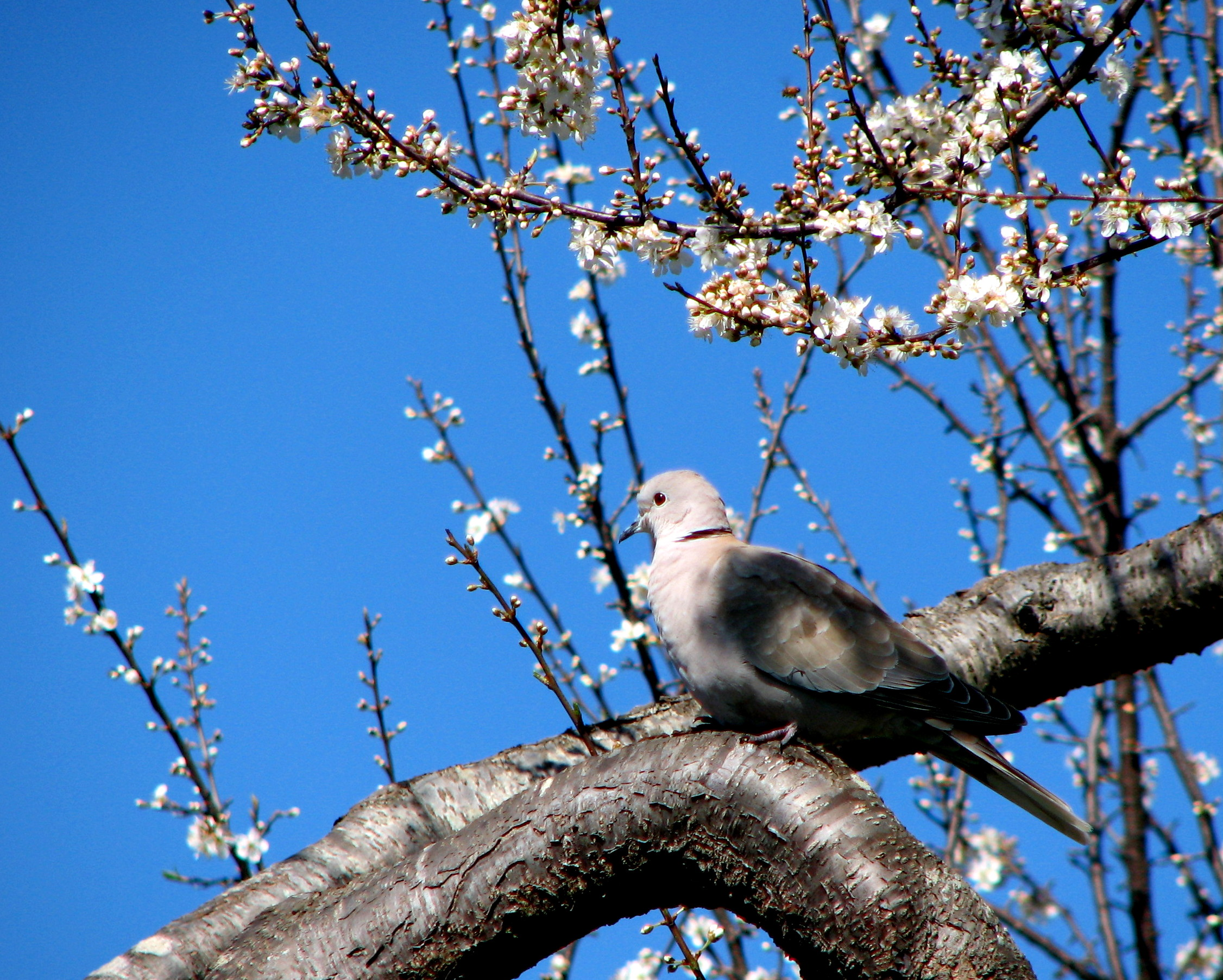 Dove in Apricot Tree